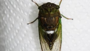 Molting Swamp Cicada 21