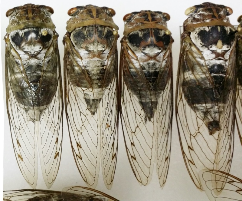 Neotibicen auletes from Bill Reynolds collection