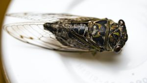 Neotibicen canicularis