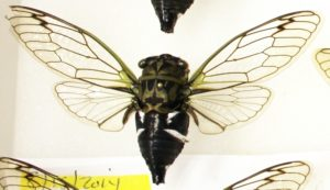 Neotibicen latifasciatus from Bill Reynolds collection