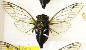 Neotibicen latifasciatus from Bill Reynolds collection