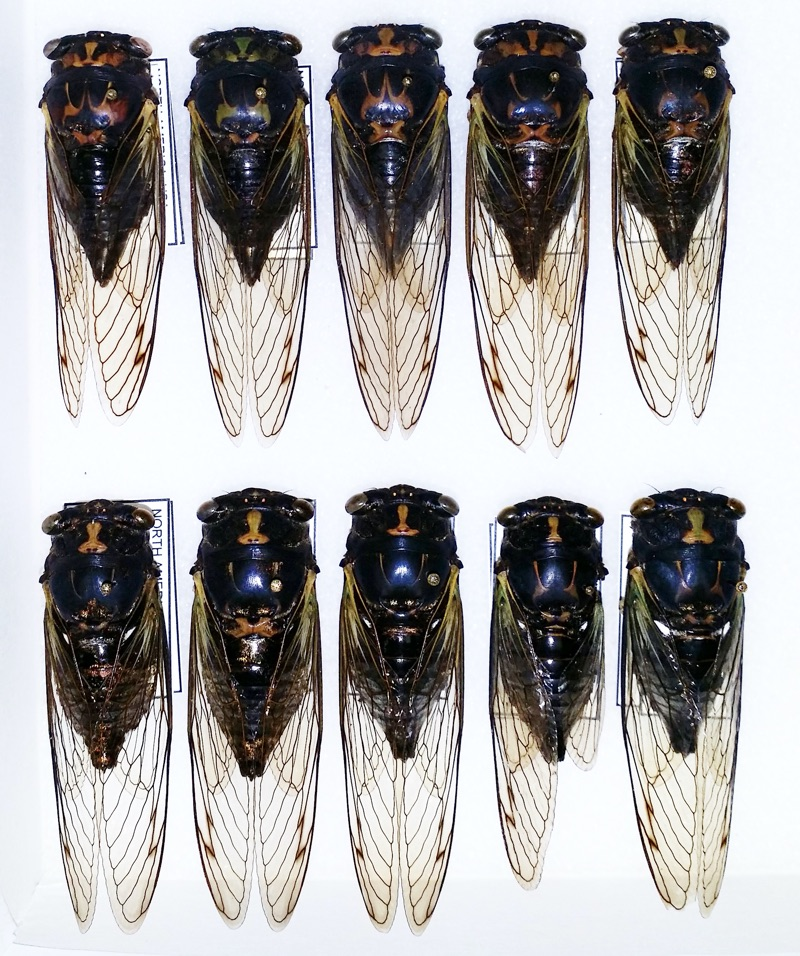 Neotibicen lyricen from Bill Reynolds collection