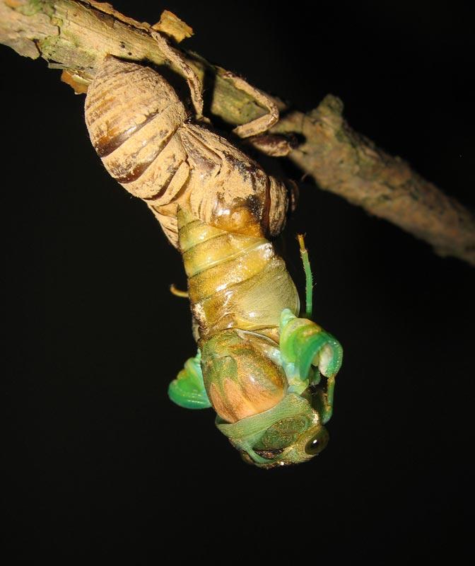 Roy Troutman Neotibicen tibicen molting