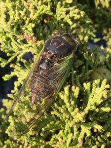 Swamp Cicada on a Cedar