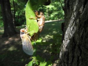 Teneral Magicicada on leaf