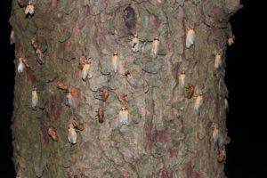 Teneral Magicicadas on a pine tree