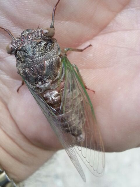 Teneral (soft, recently molted) Neotibicen canicularis (Dog Day Cicada) photos by Daniel Costa, from 2014.