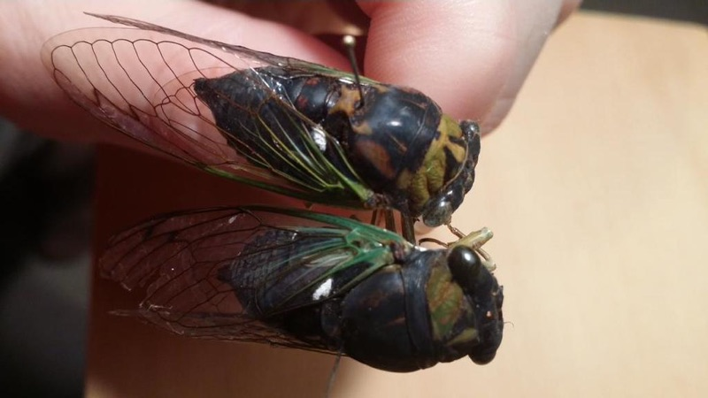 Two Swamp Cicadas - dorsal view