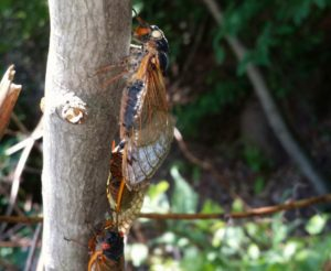 Zombie Cicada - Not Really_ just dead