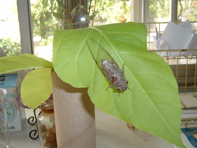 Adult Female Cicada. Santisuk Vibul. Thailand. 2006.
