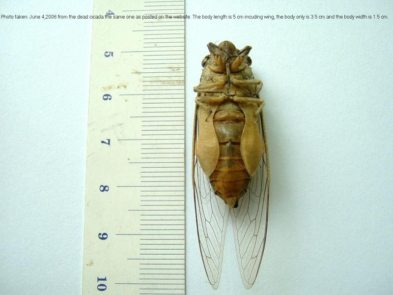 Cicada, Cicada. Santisuk Vibul. Thailand. 2006.