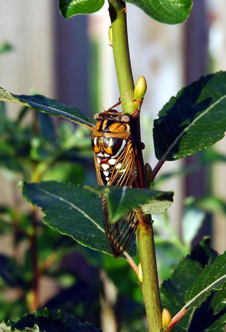 Bill Lesar's 2005 Megatibicen dorsatus