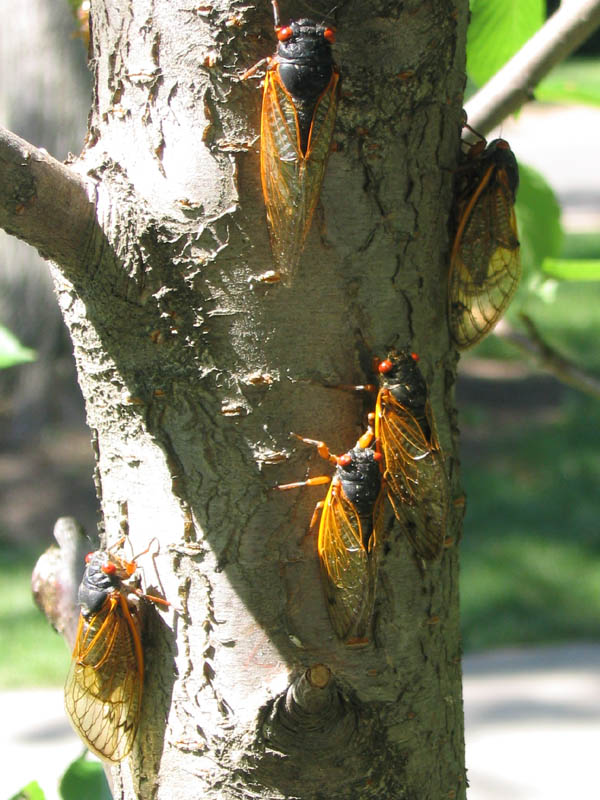 Magicicada on a tree in a park in Princeton NJ