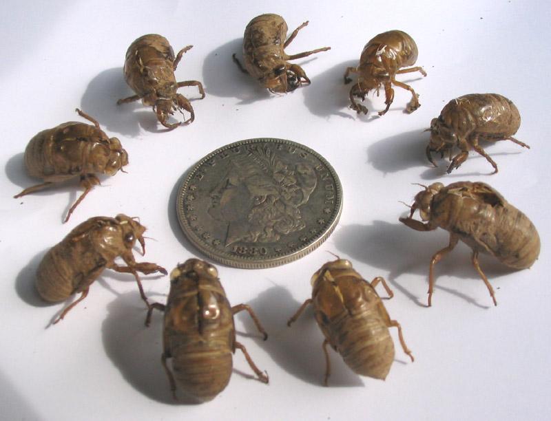 Cicada skins