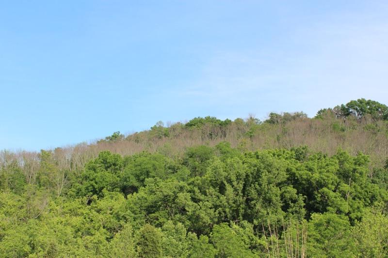dead Ash trees are a loss of cicada habitat
