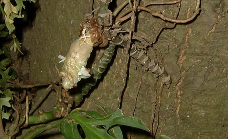 Cicada emerging on tree. Santisuk Vibul. Thailand. 2006.