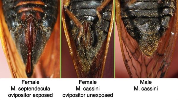 Comparison of Male and Female Magicicada