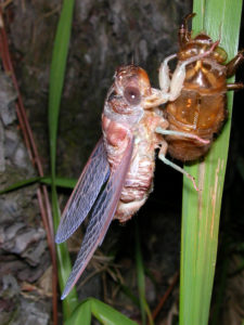 Gina Scarborough's Florida Cicada molting