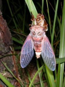 Gina Scarborough's Florida Cicada molting