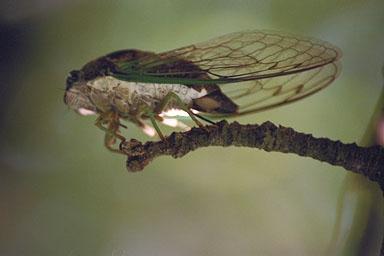 Les Daniels. Swamp Cicada