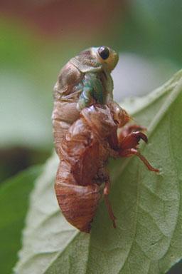 Les Daniels. Molting cicada.