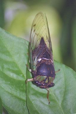 Les Daniels. Adult cicada.