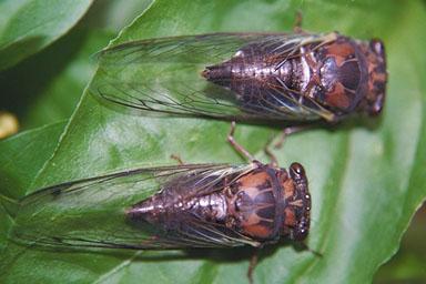 Les Daniels. 2 Cicadas