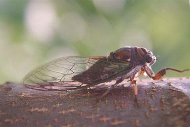 Les Daniels. Adult Cicada