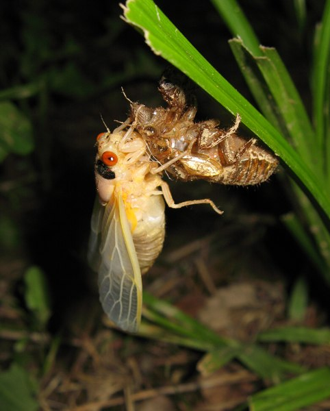 Molted cicada. Magicicada exuvia. Roy Troutman. Brood XIV.