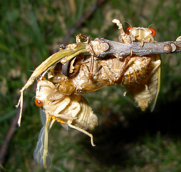 Brood XIII Magicicada cicadas by James P. A funny photo from James P. from Glenview, IL. 2007.