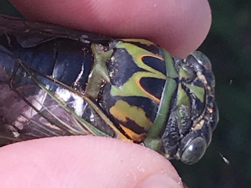 male Neotibicen latifasciatus