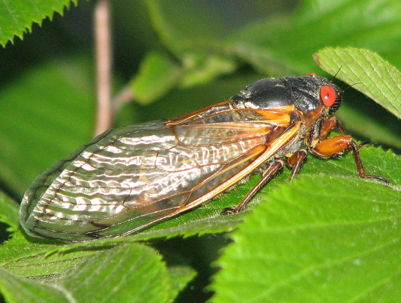 Brood XIII cicada photos by Mark Muto, from 2007. Photos were taken in North Riverside, Illinois.