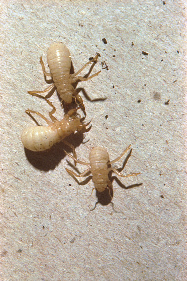 1983 immature Magicicada nymphs. Roy Troutman.