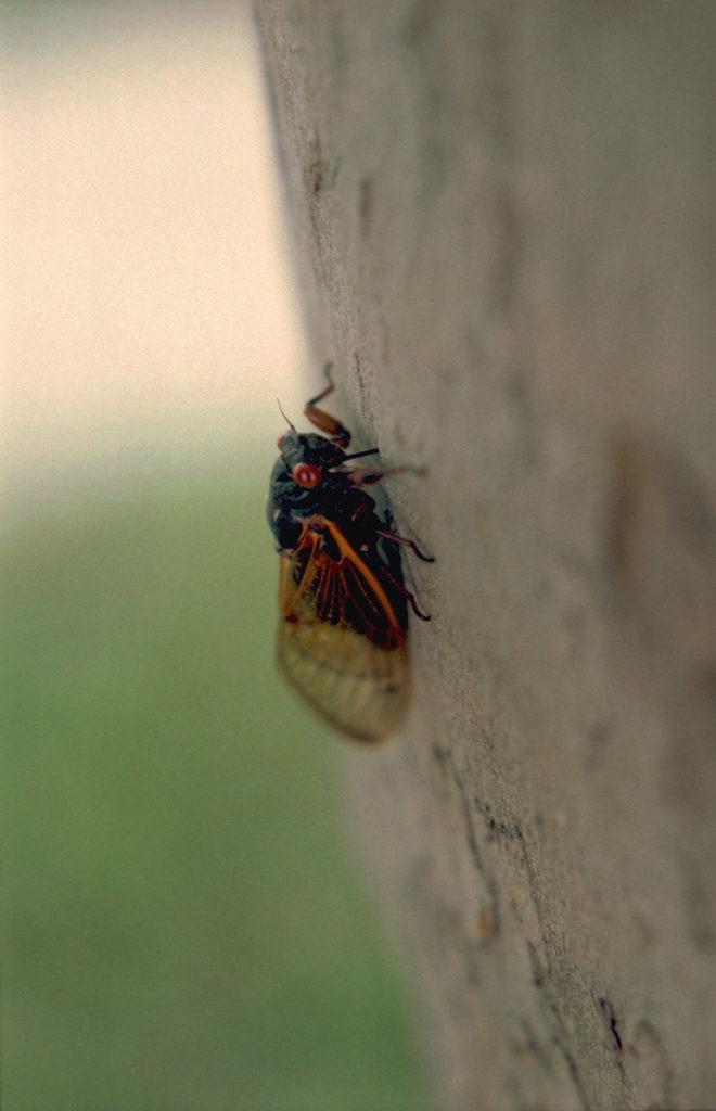 Roy 1987 Cicada Feeding