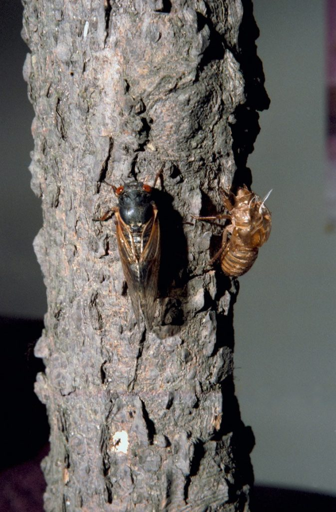 Roy 1987 Cicada Next to Shell