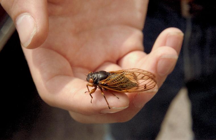 Roy 1987 Cicada on Finger