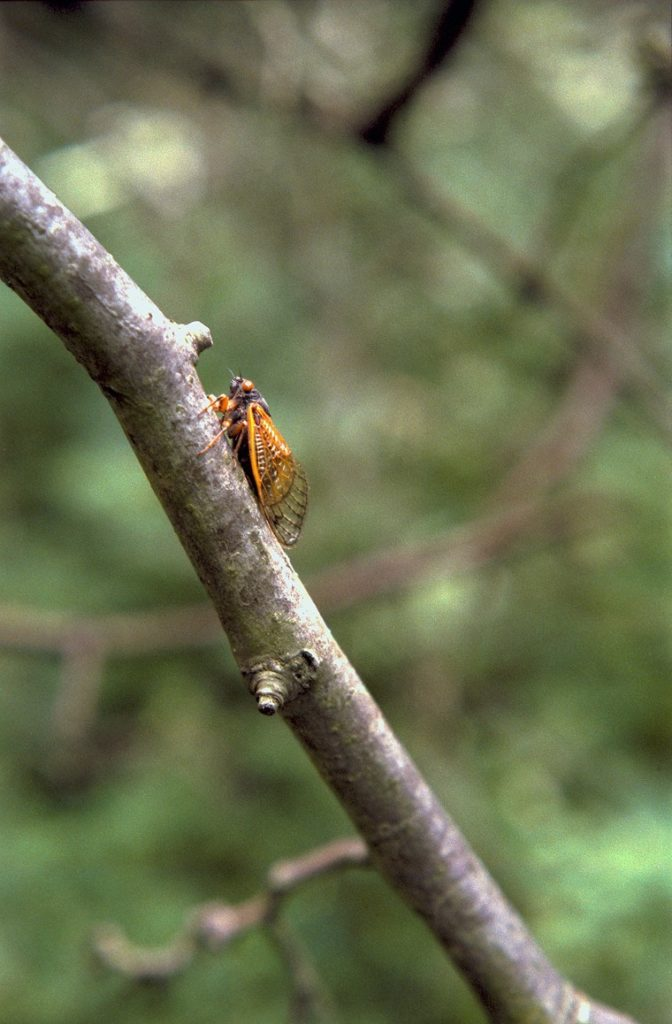 Roy 1987 Cicada on Small Branch