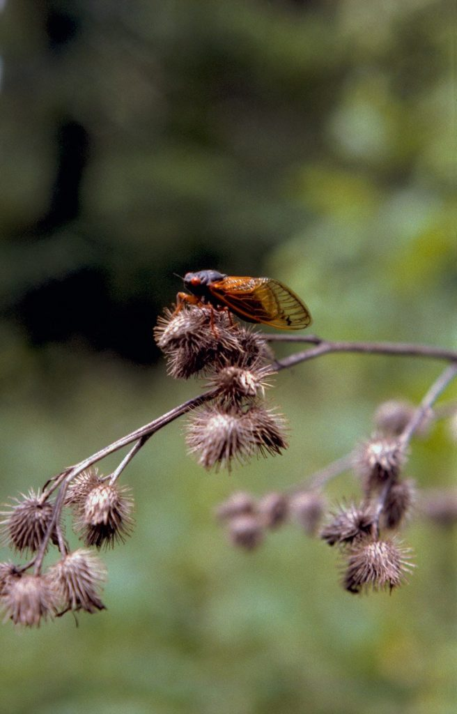 Roy 1987 Cicada on Thistle