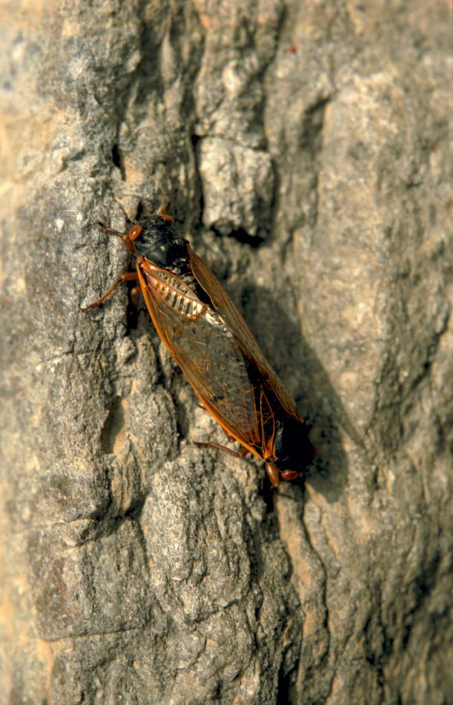 Roy 1987 Mating Cicadas