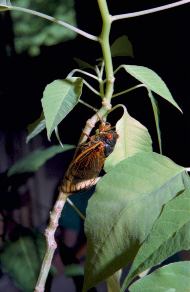 Roy 1988 Straggler Cicada