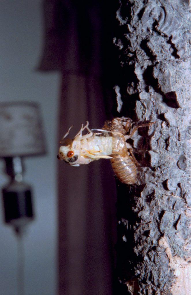 Roy 1988 Straggler Cicada Molting