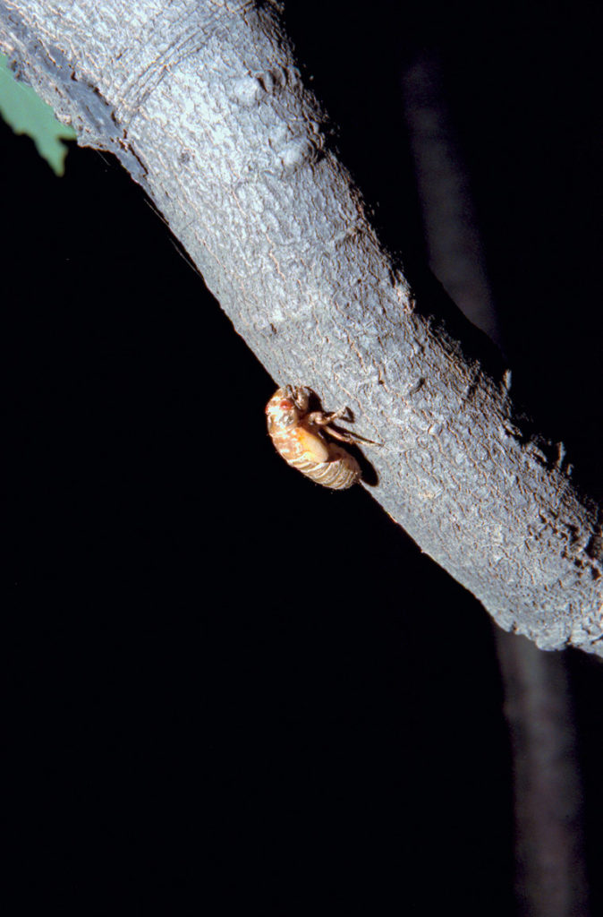 Roy 1990 Straggler Cicada