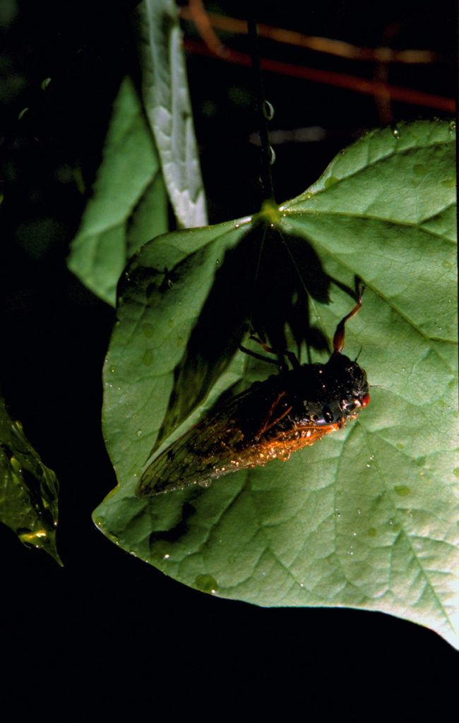 Roy 1991 Cicada on Leaf