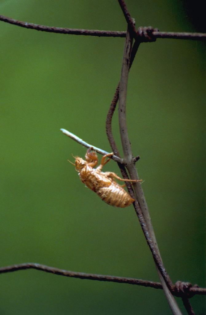 Roy 1991 Cicada Shell