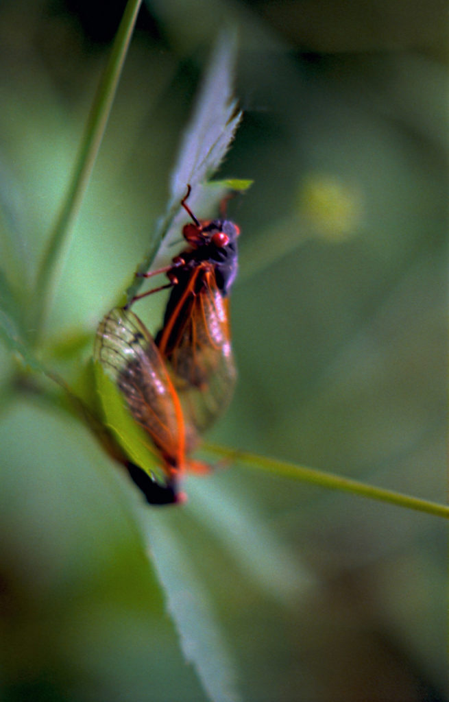 Roy 1991 Cicadas Mating