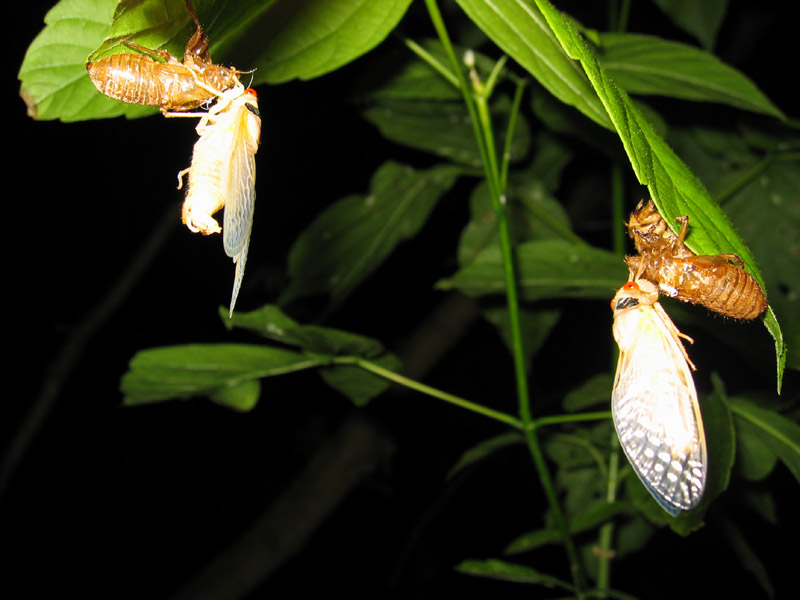 Brood X Magicicada photos by Roy Troutman from 2004. Molted cicadas.