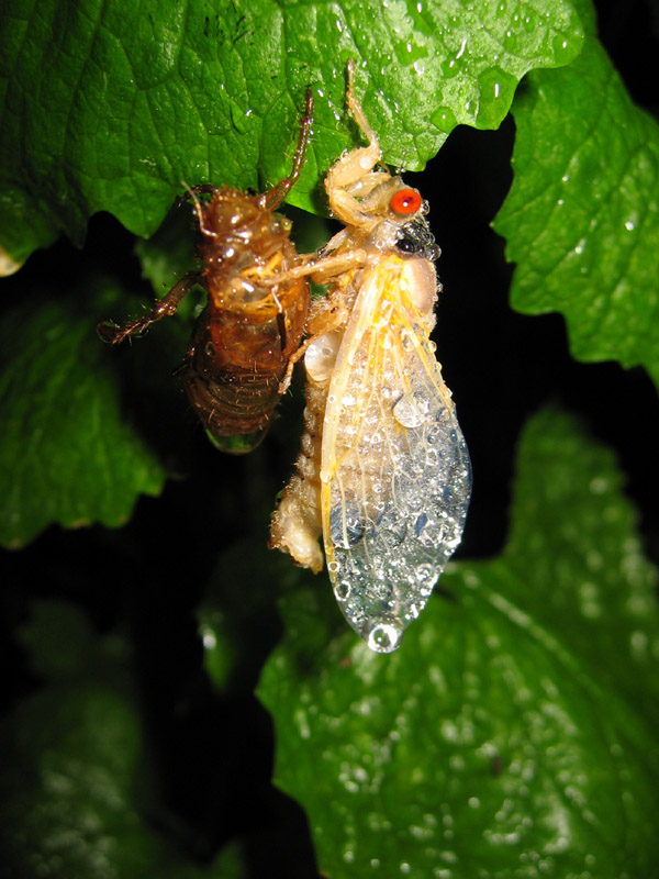 Brood X Magicicada photos by Roy Troutman from 2004. Molted cicada.