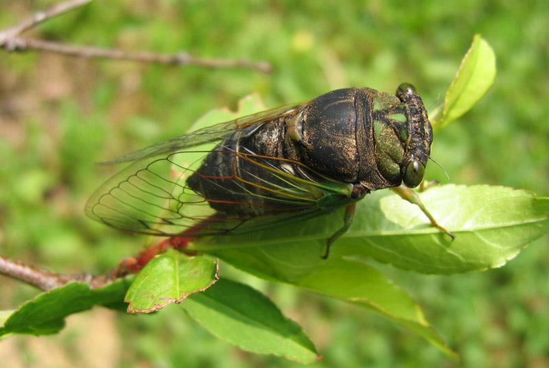 Neotibicen tibicen tibicen (Morning Cicada) photos by Roy Troutman