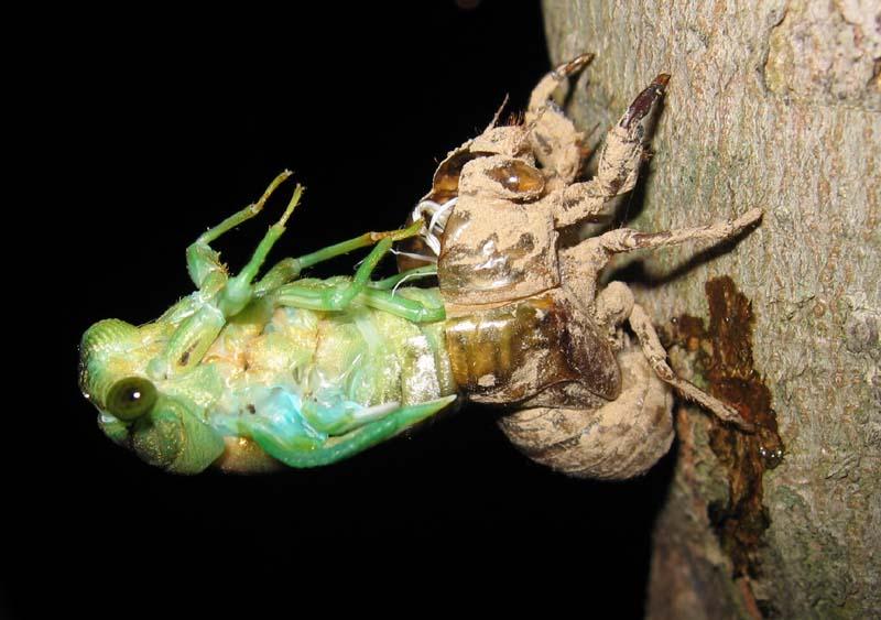Molting Neotibicen cicada