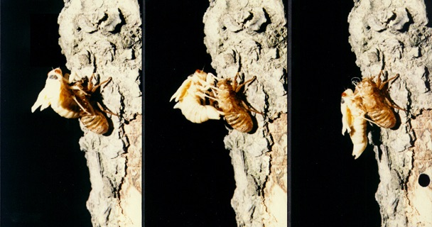 Molting cicada. Roy Troutman.